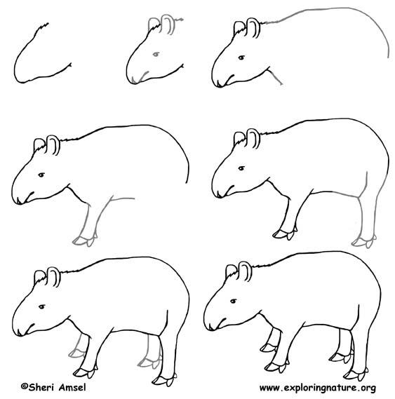 Tapir Drawing Lesson