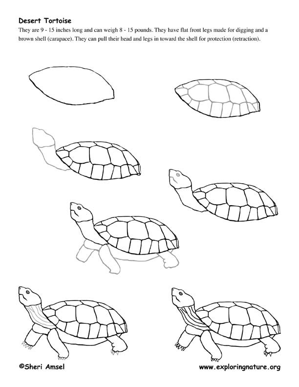 Desert Tortoise Drawing Lesson