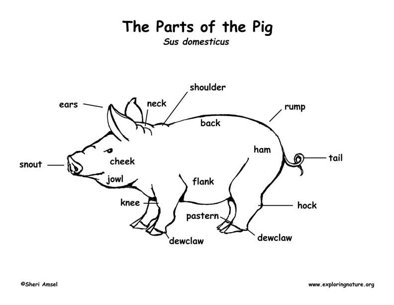 pig skin diagram