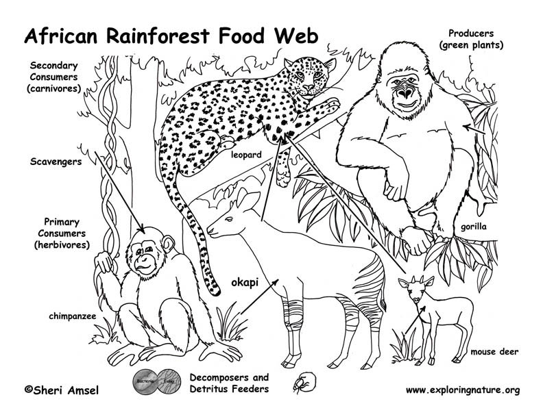 African Rainforest Food Web