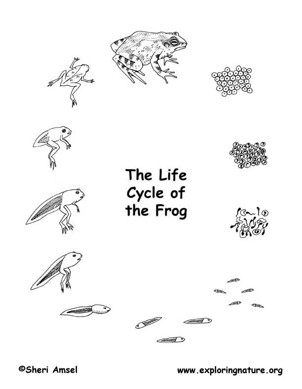 Bullfrog Life Cycle