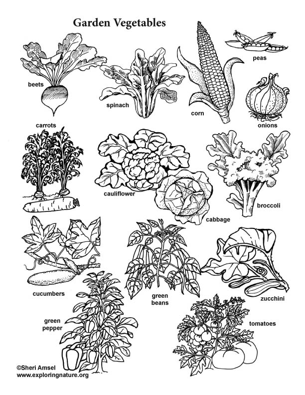 Garden Vegetable Visual Guide and Coloring Page