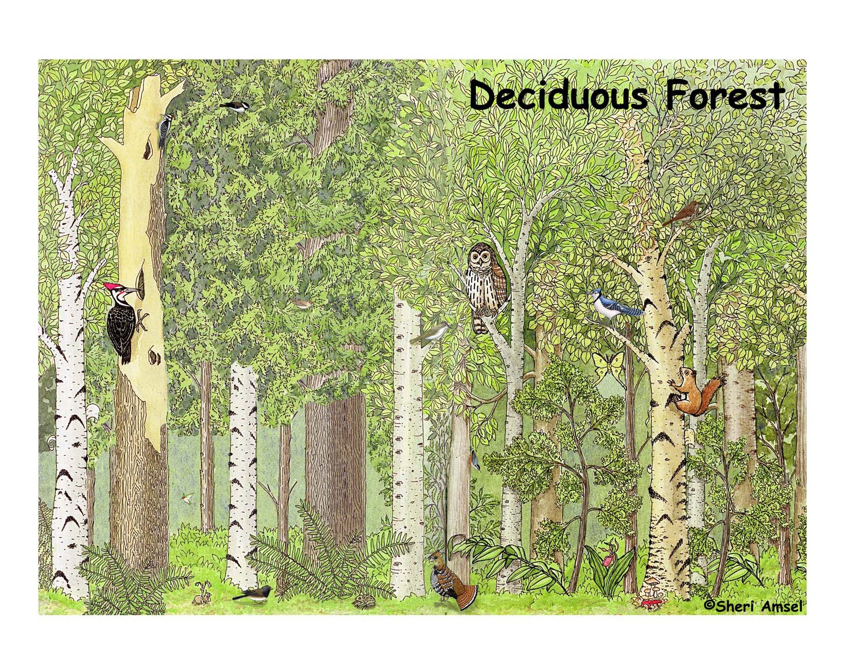 deciduous forest diagram cat 3 wiring rj45 decidous free coloring pages