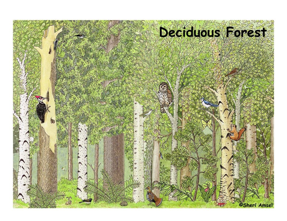 medium resolution of deciduous forest labeling page