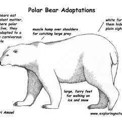 Arctic Fox Food Chain Diagram Wiring A Doorbell Adaptations Of The Polar Bear