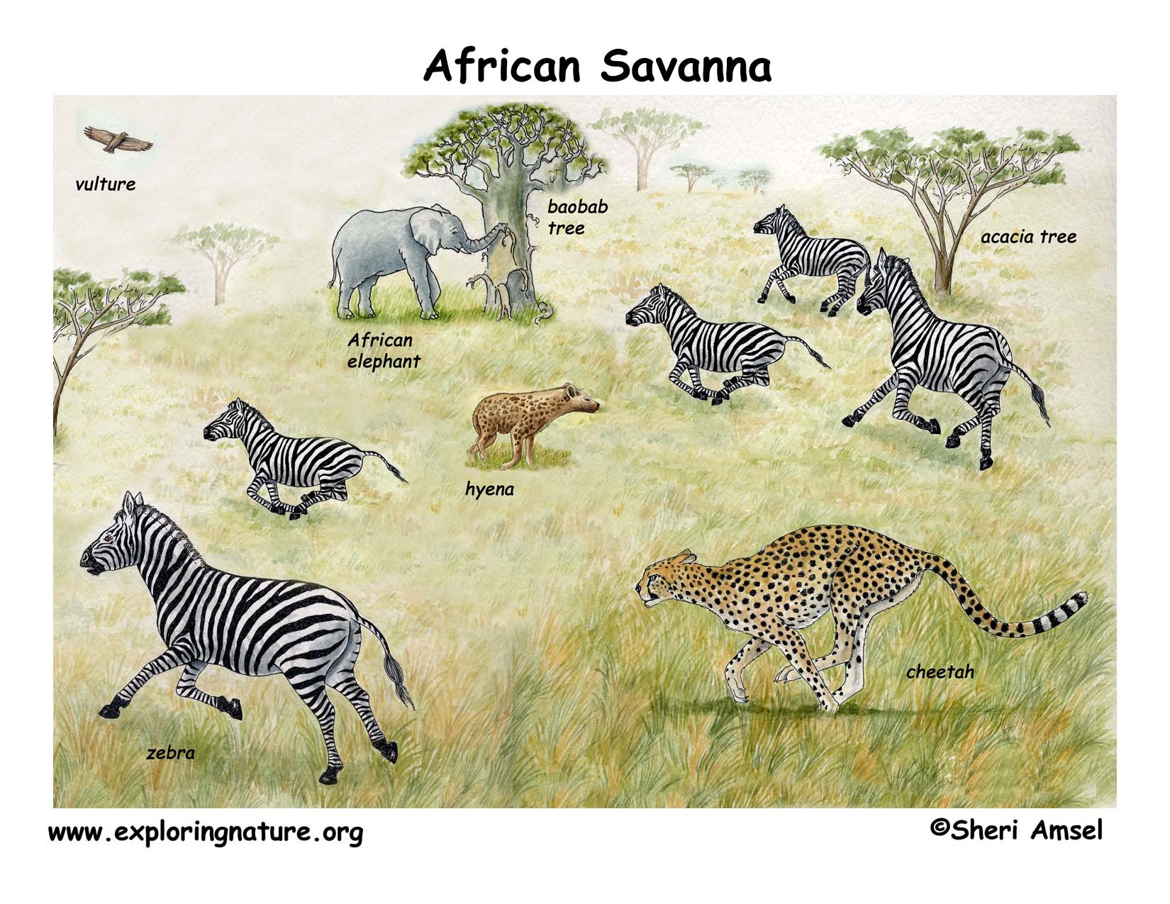 savanna animal food chain diagram featherlite weedeater fuel line african veldt and savannah download hi res color