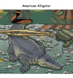 download hi res color diagram alligator  [ 1650 x 1275 Pixel ]