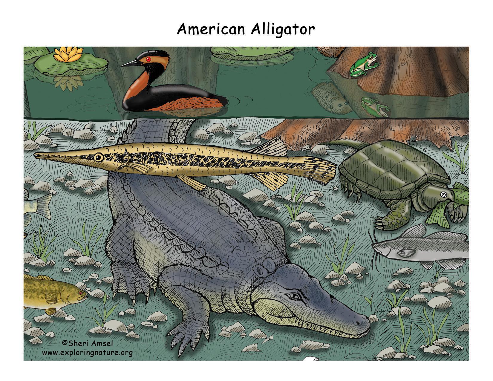 hight resolution of download hi res color diagram alligator