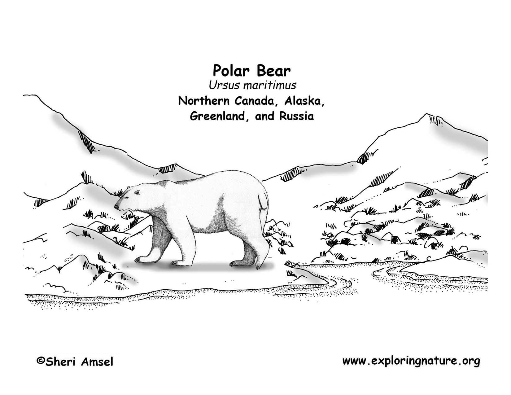 polar bear diagram john deere 445 wiring unique realestateradio exploring nature educational resource error
