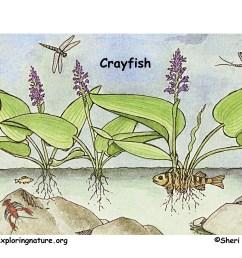 download hi res color diagram crayfish [ 1650 x 1275 Pixel ]