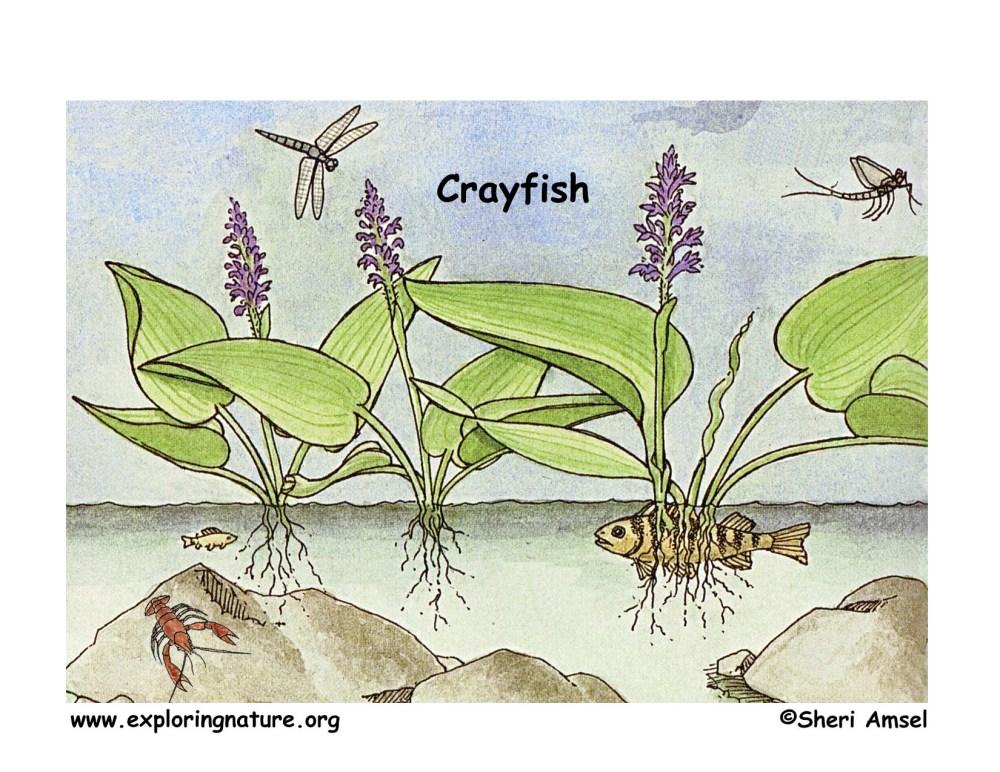 medium resolution of download hi res color diagram crayfish