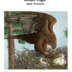 Eagle Anatomy Diagram Recessed Light Wiring Bald Http Wwwexploringnatureorg Graphics Bw Golden