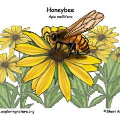 Diagram Of A Queen Bee Wiring 4 Pin Relay Honeybee