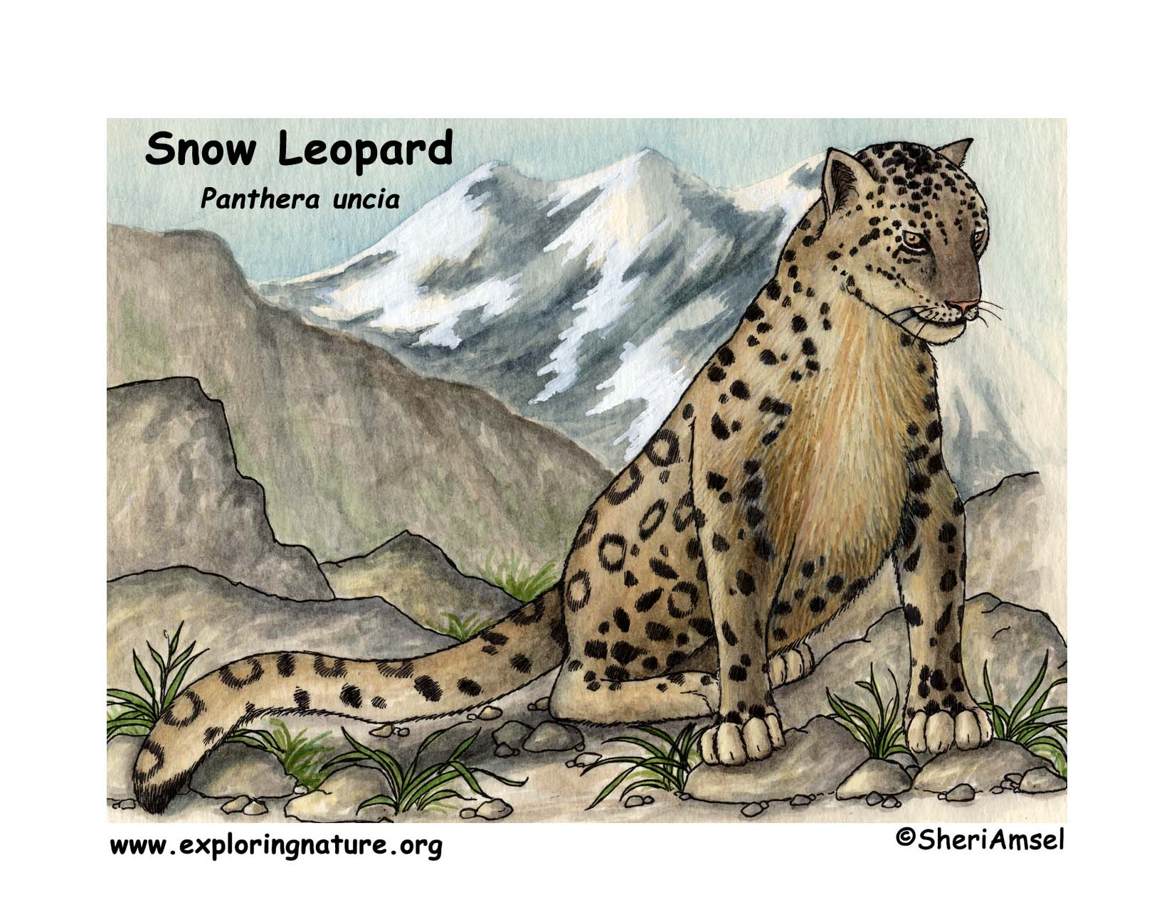 hight resolution of download hi res color diagram snow leopard