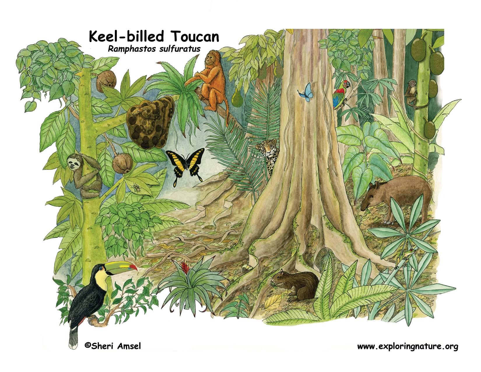 Toucan Keel Billed