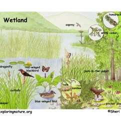 Pond Ecosystem Diagram Rheem Hot Water System Wiring Marshes Swamps And Bogs
