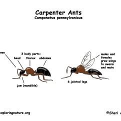 Ant Parts Diagram Wiring 1997 Club Car Electric Golf Cart Ants (carpenter)