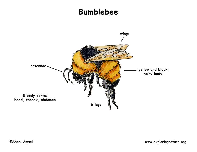 Bumble Bee Body Parts Diagram - DIY Enthusiasts Wiring Diagrams •