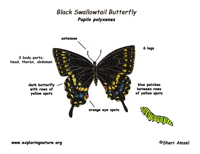 Butterfly Diagram Related Keywords Suggestions Butterfly Diagram
