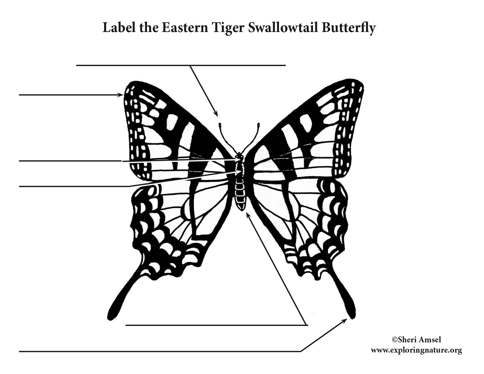 Eastern Tiger Swallowtail Butterfly Body Parts Pictures To