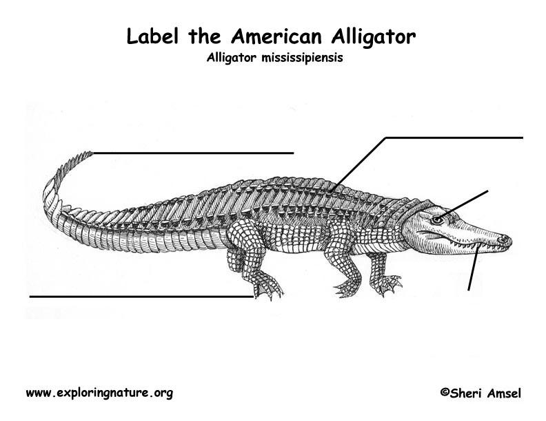 alligator body parts diagram labeled