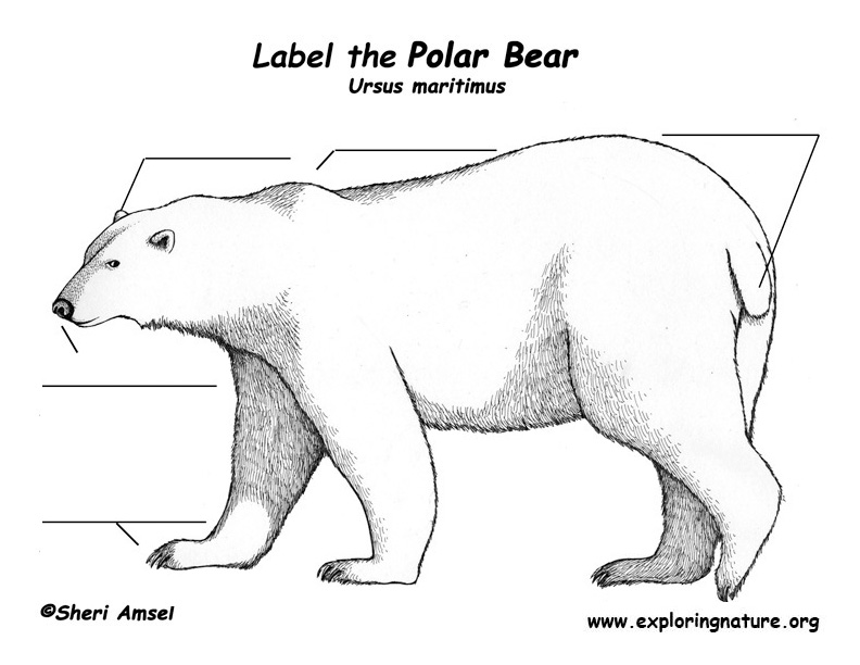 Bear (Polar) Labeling Page