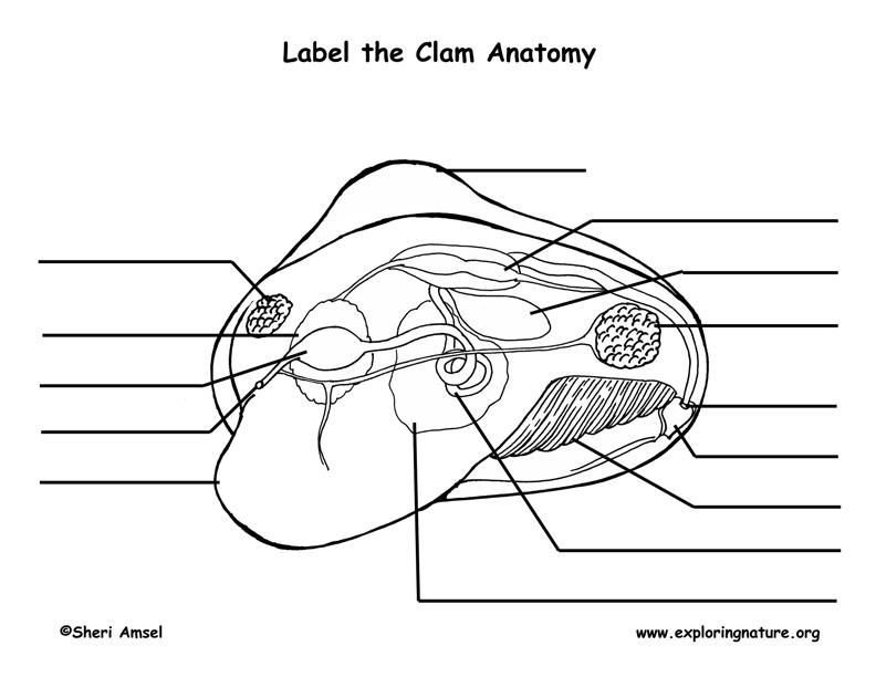Squid Anatomy Worksheet. squid worksheet worksheets for