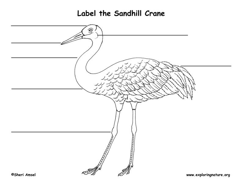 Sandhill Crane Labeling Page