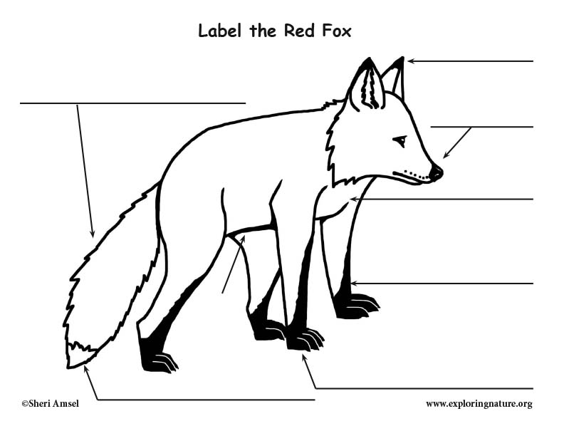 [DIAGRAM] Red Fox Organ Diagram FULL Version HD Quality