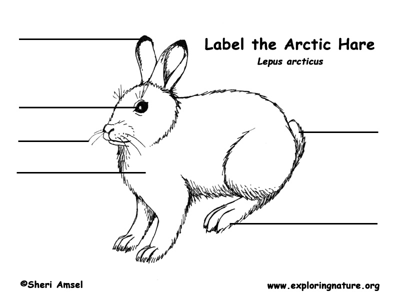Hare (Arctic) Labeling Page