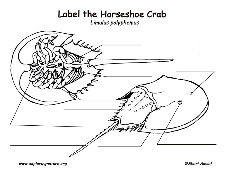 Horseshoe Crab Labeling Page