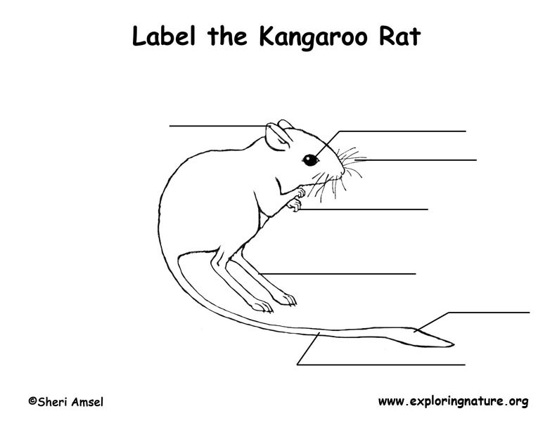 use animal research diagram 2004 chevy cavalier wiring kangaroo rat labeling page