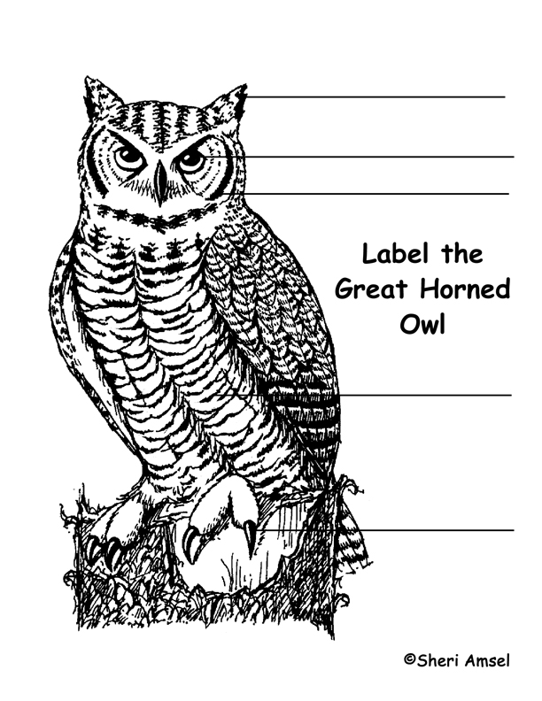 Owl (Great Horned) Labeling Page