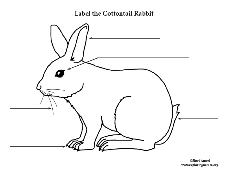 Rabbit (Cottontail) Labeling Page
