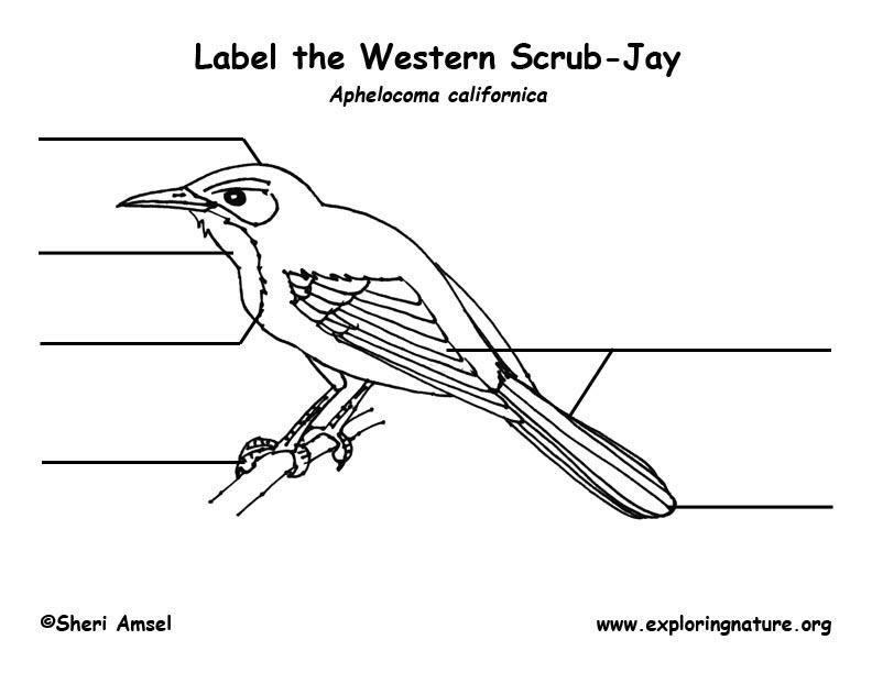 Jay (Scrub) Labeling Page