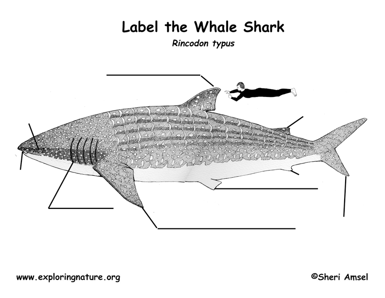 Shark (Whale) Labeling Page