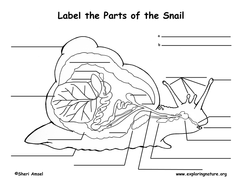 Snail Anatomy Labeling Page