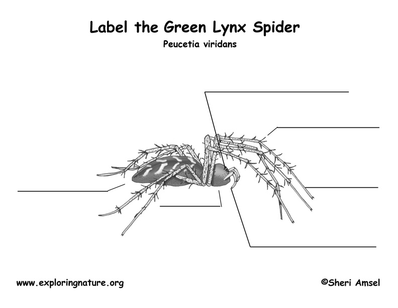 Green Lynx Spider Labeling Page