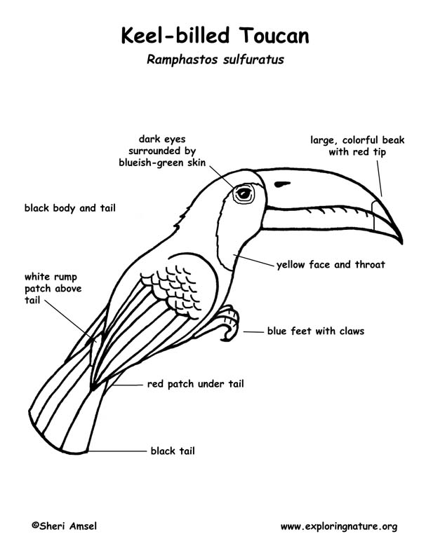 Toucan (Keel-billed) Labeling Page