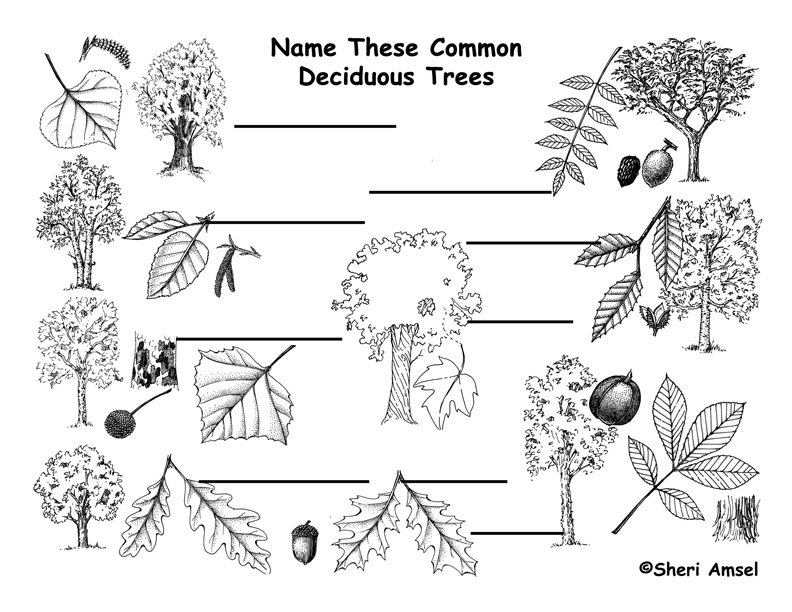 Trees by Shape, Leaf & Fruit Labeling Page