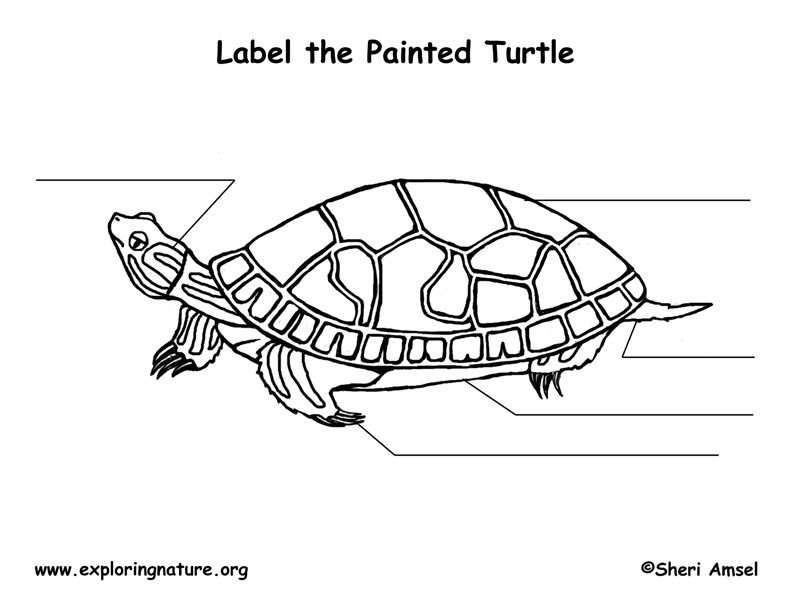 Turtle (Painted) Labeling Page