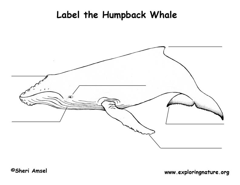 Whale (Humpback) Labeling Page