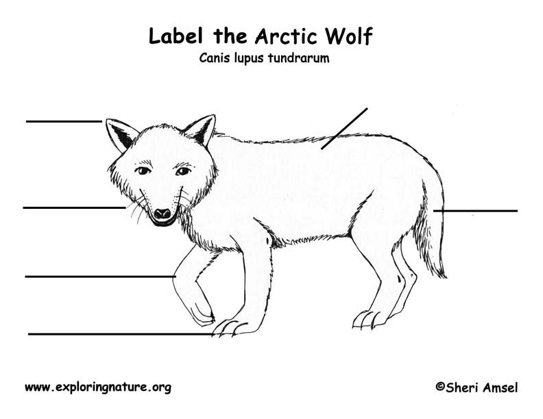 Wolf (Arctic) Labeling Page