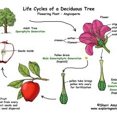 Non Vascular Plant Diagram 1999 Ford Ranger Cd Radio Wiring Apple Tree Life Cycle (flowering Plant)