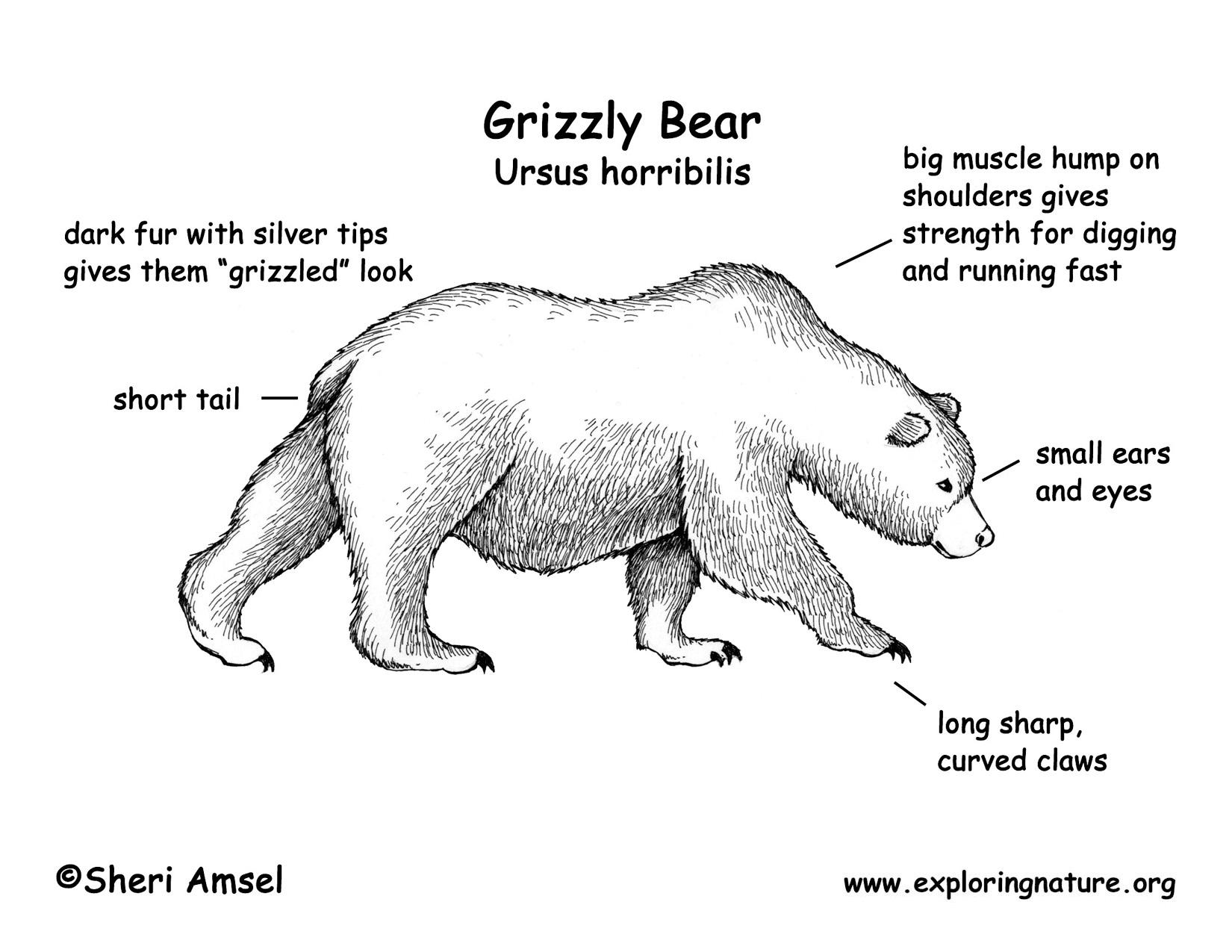 brown bear diagram led strobe circuit polar fur