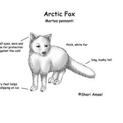 Wolf Skeleton Diagram House Wiring India Fox (arctic)