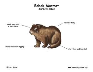 Marmot (Bobak)