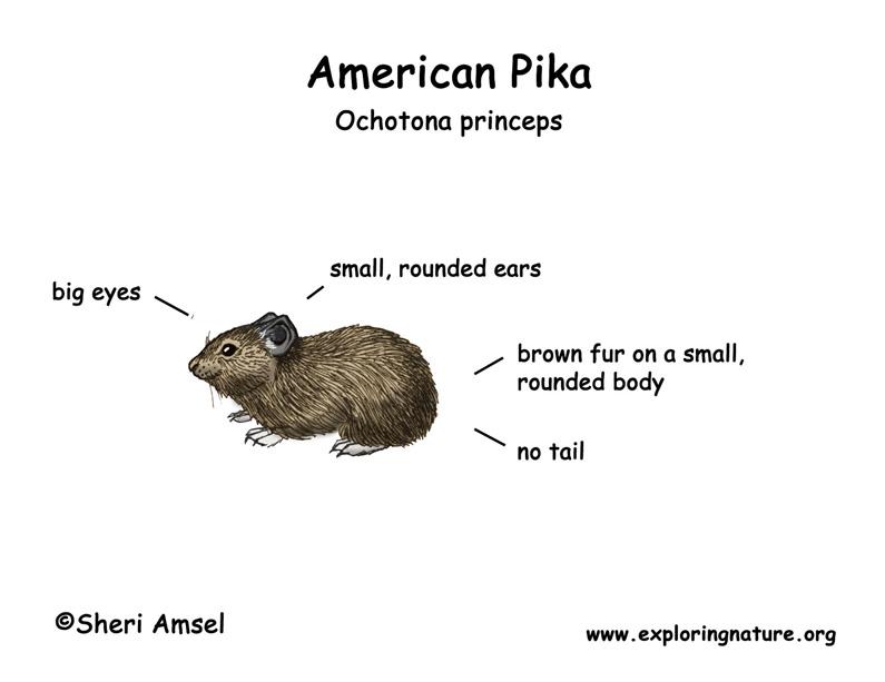 Pika (American)