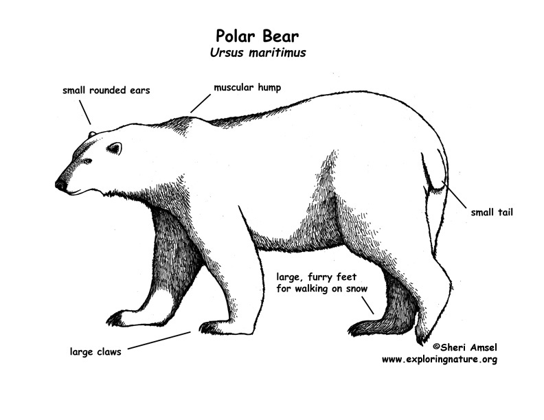 labeled diagram polar bear : Randy's blog