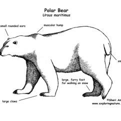 Polar Bear Fur Diagram Electrical Db Wiring Mia Morales On Emaze